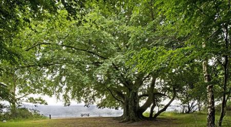 Stengade Skov med det træ, der senere fik navnet